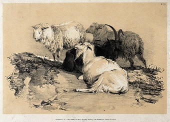 """Two sheep and two goats resting together in a field."" Lithograph with gouache by A. Ducote."